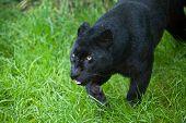 Black Leopard Panthera Pardus Prowling Through Long Grass