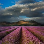 Beautiful Landscape Of Lavender Field Leading To Mountain Range With Dramatic Sky