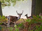 Fallow Deer Stag Portrait In Autumn Foggy Morning