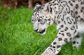 pic of panthera uncia  - Beautiful portrait of Snow Leopard Panthera Uncia Uncia big cat in captivity - JPG