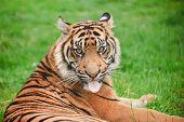 Portrait Of Sumatran Tiger Panthera Tigris Sumatrae Big Cat