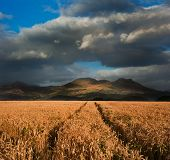 Beautiful Landscape Of Wheat Field Leading To Mountain Range With Dramatic Sky