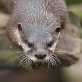 Curious Small-clawed Otter