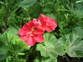 Red geranium (Pelargonium zonale)