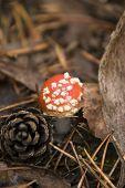 Amanita Muscaria And Pine Cone