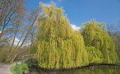 weinende Weide, niedrigere Rhein-Gebiet, Deutschland