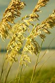 Sea Oats Ii