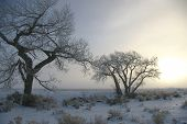 pic of cottonwood  - Two icy cottonwood trees in snowy field at sunrise - JPG