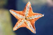 pic of echinoderms  - Underside of the starfish showing its tube feet - JPG