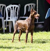 stock photo of doberman pinscher  - A young beautiful brown Doberman Pinscher standing on the lawn while sticking its tongue out and looking happy and playful - JPG