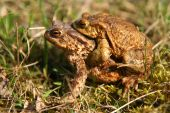 foto of animals sex reproduction  - Frogs having sex in the mating season