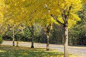 Falling Leaves From Neighborhood Beech Trees