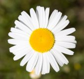 Close-up Of Daisy