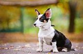 welsh corgi cardigan puppy outdoors