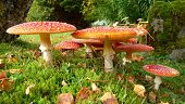 Fly Agaric Family