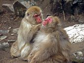 Japanese Macaque Monkeys Grooming poster