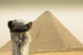 stock photo of sandstorms  - camel watching the Cheops pyramid in sandstorm - JPG