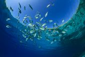 Fish in Ocean (Scissortail Sergeant Majors)