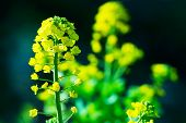 Rapeseed, mustard or Canola flower side lighted with dark background.