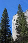 El Capitan with Pine Trees Yosemite California