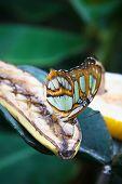 Malachite (Siproeta stelenes) butterfly