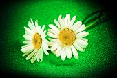 Flower Ox-eye Daisy