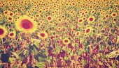 picture of instagram  - Wilted Sunflower Fields in Italy Instagram Effect - JPG
