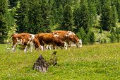 Cattle On Alpine Pasture