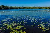 A Lot Of Lily Pads On A Lake