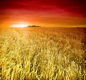 stock photo of fall-wheat  - backdrop of ripening ears of yellow wheat field on the sunset - JPG