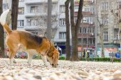 Dog Beagle Sniffing In The Park