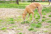 stock photo of greyhounds  - greyhound dog in park sniffing and playing - JPG