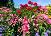 stock photo of hollyhock  - Scenic flower garden filled with vibrant perennials in full bloom on a clear summer day - JPG