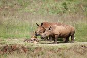 White Rhino pair, South Africa