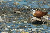 African Jacana Standing On Floating Litter And Sewage