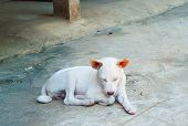 stock photo of nod  - White thai dog two year old nodding in parking