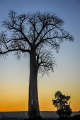 stock photo of baobab  - One of the huge baobabs in the Avenida de Baobab in Madagascar - JPG