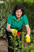 Mature woman cuts red roses in her garden using shears