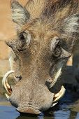 Warthog - African Wildlife Background - Drinking Life