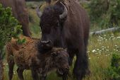 foto of female buffalo  - wildlife love mother and son in yellowstone national park showing affection - JPG