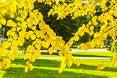 The Branches Of The Lime Trees With Yellow Leaves Backlit