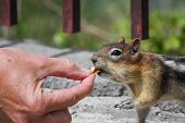 stock photo of chipmunks  - close up of female hands feeding nuts to a wild chipmunk - JPG