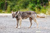 Furious Dog