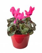 Pink Cyclamen In A Red Pot Isolated