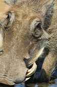 Warthog - African Wildlife Background - Portrait of Happiness