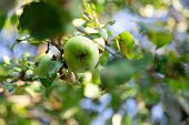 Green apples on the Apple tree