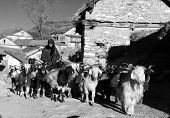 Caravan Of Goats Go With Goods From Simikot Area, Nepal