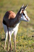 Springbuck Antelope