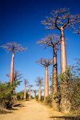 picture of baobab  - Famous Avenida de Baobab near Morondava in Madagascar  - JPG