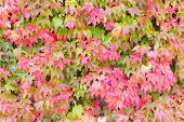 Japanese Ivy Changing Color In Autumn